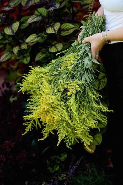 planta solidago